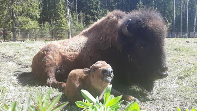 С жителями Петербурга поделились фотографиями новорожденного зубра