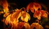 В Петербурге из-за ржавчины сожгли 1200 цветов