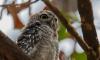 Не несите совят домой: орнитологи рассказали, что делать с птенцами