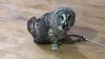 Природоохранники спасли редкую сову из зоопарка