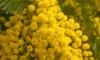 Завезенные в Петербург розы и мимозы пришлось сжечь из-за карантинного насекомого