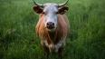 В Шушарах нашли труп рогатой коровы