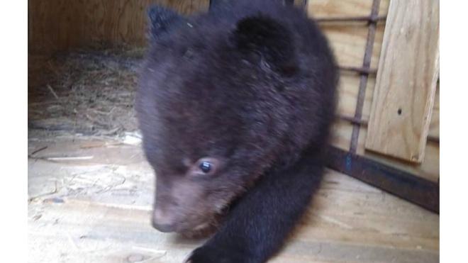 Фото: в Приморье выхаживают маленького гималайского медвежонка