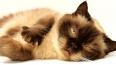 Аналитики: в Петербурге живет больше кошатников, чем соб...