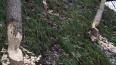 Бобры повалили деревья в Малом Ильинском саду