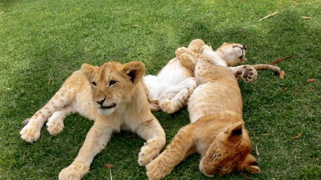 В Ленинградском зоопарке появились на свет львята