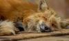 В Петербурге догхантеры убили лисицу