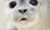 Петербургский оперуполномоченный спас тюлененка