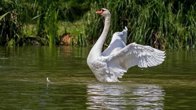 На Патриарших прудах неизвестный отравил лебедя