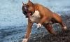 В Москве бойцовая собака напала на трехлетнего ребенка