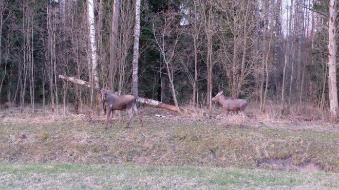 На участке КАД рядом с Левашовским шоссе петербуржцы снова заметили лосей