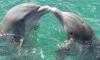 Громкое спаривание рыб приводит к глухоте дельфинов и морских котиков