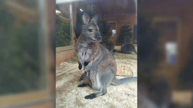 Самка кенгуру Хлоя из Ленинградского зоопарка стала мамой