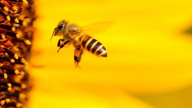 Пчелам на пасеках Ленобласти оформят паспорта