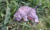 Кошку, выброшенную уехавшими в отпуск хозяевами, задрали собаки