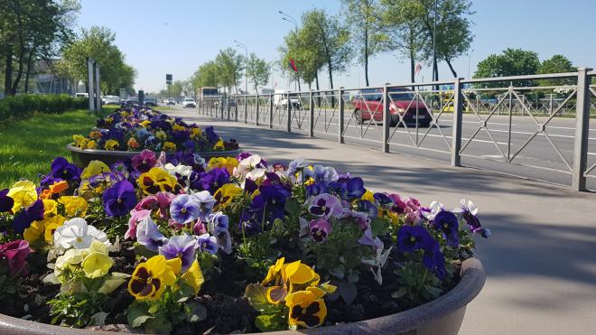 К 315-летию Петербурга город украсили цветами