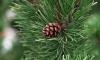 Дают - бери: в Ленобласти можно бесплатно срубить елку