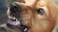 Бродячие псы покусали девочку в Вартемягах