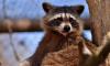 Кусачих енотов изъяли из контактного зоопарка в Петербурге