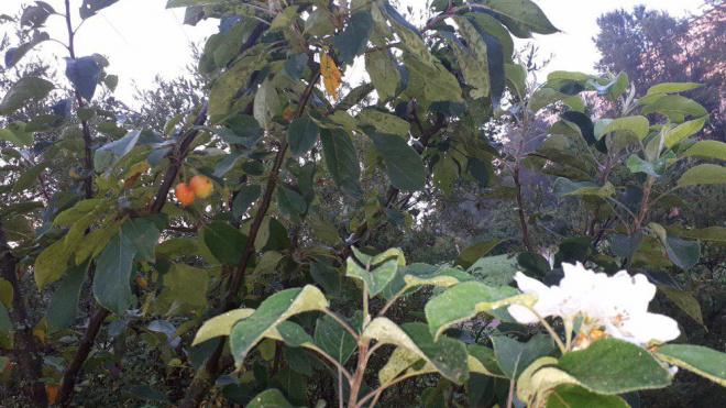 В Купчино снова зацвели яблони