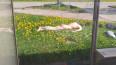 В Рыбацком петербуржцы заметили загорающего голопопика