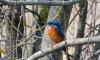 В Ленобласть принесли удачу прекрасные птицы-зимородки