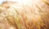 Аномально теплая зима может погубить посевы зерна в Ленобласти