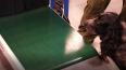 Описана польза собак при тестировании людей на коронавир...