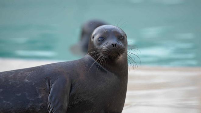 В Петербурге мошенники вымогали деньги на помощь тюленям