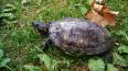 Петербуржцы ищут новый дом для красноухой черепахи ...