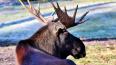 В Выборгском районе внедорожник сбил лося