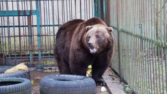 Медведи Петербурга отправились на зимнюю спячку