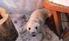 На берегу Финского залива мужчина нашел крохотного и голодного тюлененка