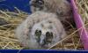 Петербуржцы отбили совенка у ворон на улице Островского