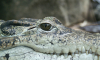 Прокуратура изучит новость о гигантском крокодиле в подвале дома в Петергофе
