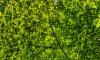 В Петербурге высадят сотню новых деревьев