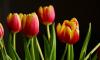 Аномальные холода стали причиной переноса Фестиваля тюльпанов в Петербурге