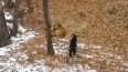 Спасатели Приморья одарили козла Тимура, а про тигра ...