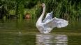 В  дублинском пруду лебедь крыльями убил собаку на ...