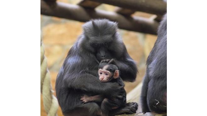 В Ленинградском зоопарке черная макака Мишель разродилась милой крошкой