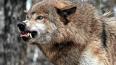 В Ростовской области бешеная волчица погрызла трех ...