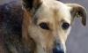 В Петербурге добродушная собака прокусила ребенку голову