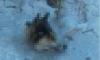 Фото: живодеры из Свердловской области отрезали голову собаке на глазах у щенков