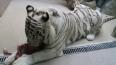 В Японии белый тигр загрыз насмерть смотрителя зоопарка