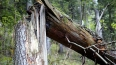 Двухлетнего москвича убило рухнувшим деревом на глазах ...