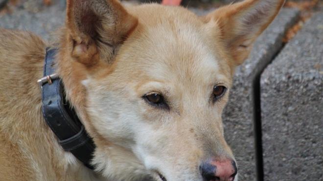 Вежливые грабители с собакой избили и ограбили прохожего в поселке Рощино