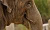 В день города по Невскому проспекту пройдут четыре слонихи и дрессировщики