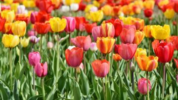 К майским праздникам Петербург украсят полмиллиона цветов