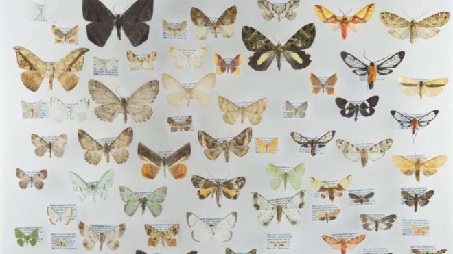 Ученые из Германии и Америки узнали, что в горных районах бабочки меньшего размера