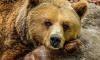 В Комсомольске-на-Амуре медведь разрыл могилу и утащил покойника